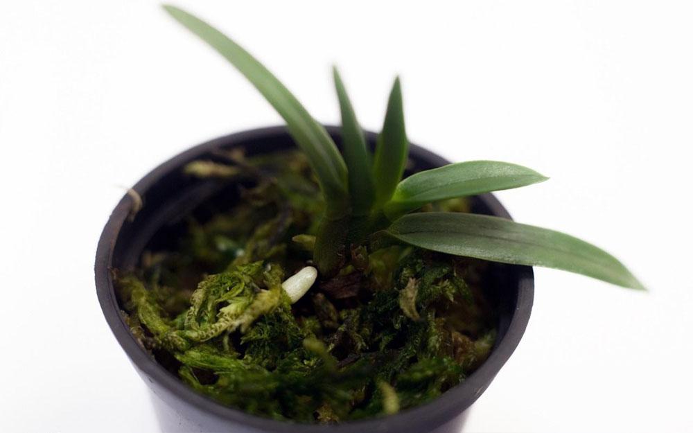 Если орхидея не цветет а выпускает только листья