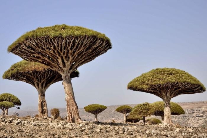Удивительная форма деревьев делает их похожими на огромные грибы.