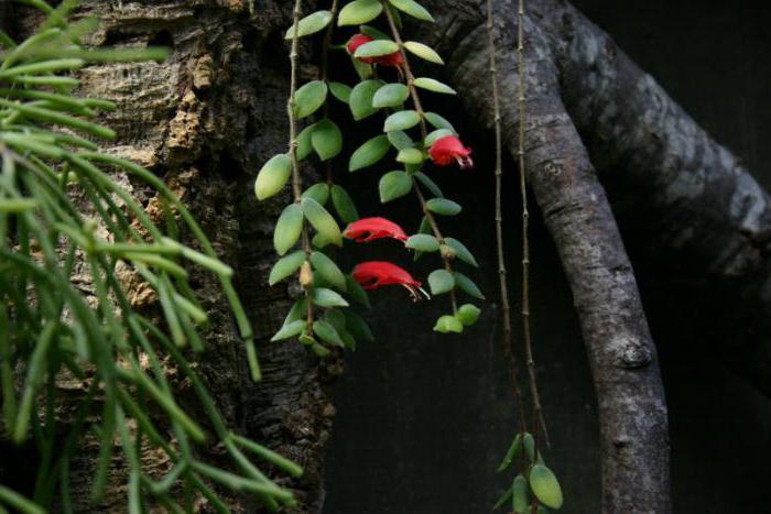 Цветок эсхинантус: фото
