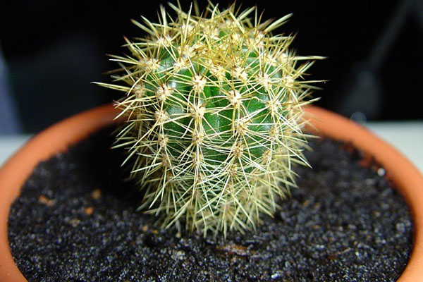 кактус после пересадки