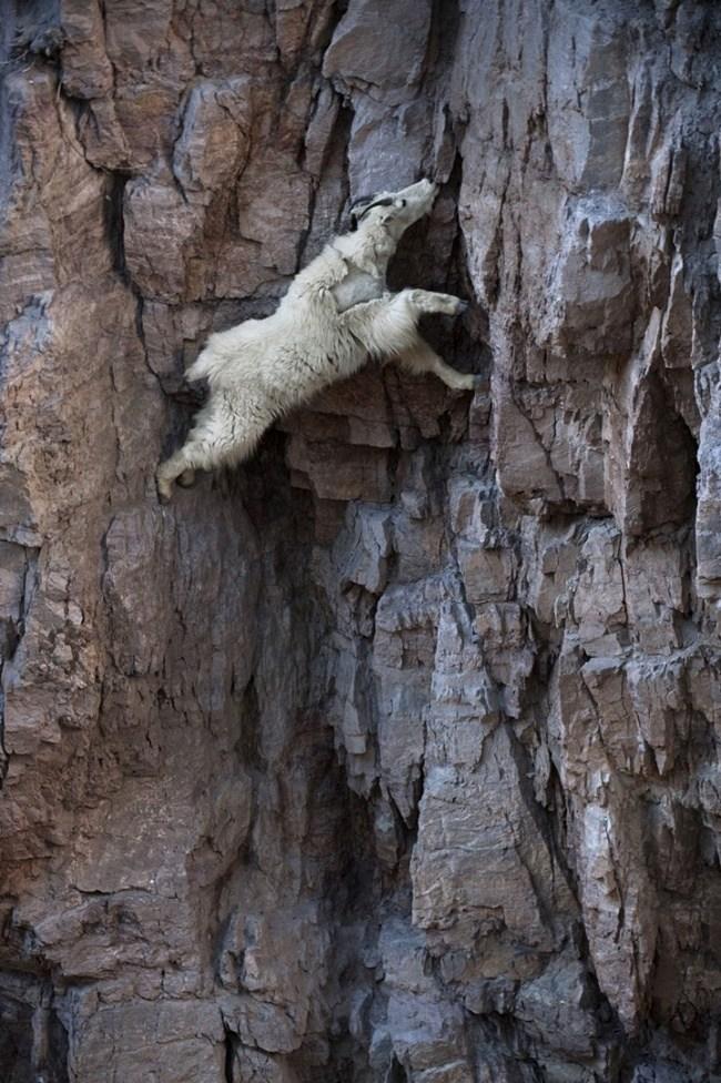 горные козлы бесстрашные животные (18)