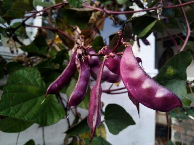 Спаржевая фасоль: выращивание, уход, лучшие сорта Сад и огород,огород