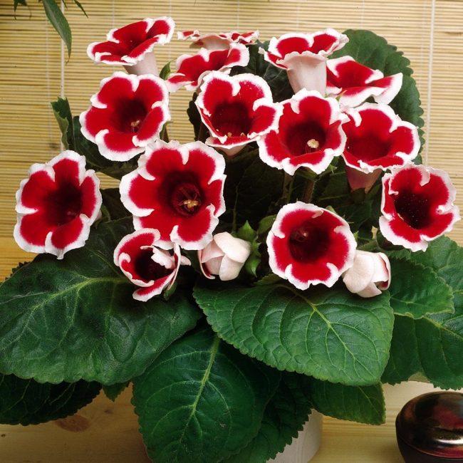 Глоксиния в цвету – настоящая кустодиевская красавица!