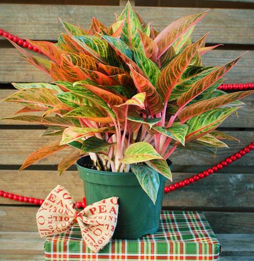 Декоративная листва аглаонемы привлекает внимание цветоводов