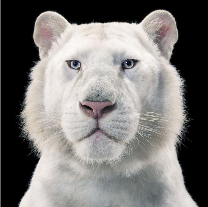 Белый тигр на чёрном фоне. Взгляд животного пронизывает зрителя насквозь. Автор: Tim Flach.
