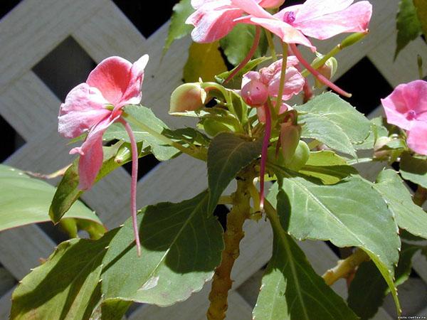 При недостаточном или избыточном освещении растение вытягивается и теряет форму