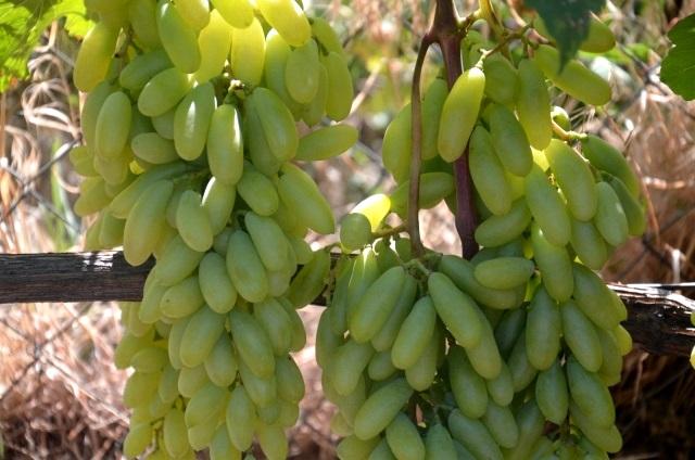 Сорт винограда Хусайне белый (Дамские пальчики)