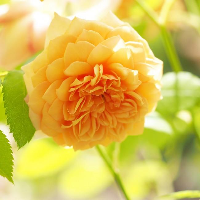 """Сорт с цветами солнечной расцветки и благородным названием """"Grace"""""""