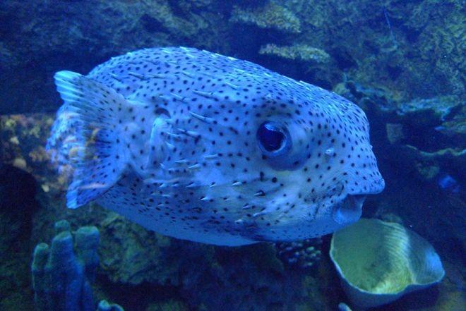 14. Иглобрюх или рыба фугу животный мир, море, природа, путешествия, рыбки