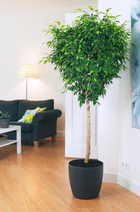 Цветы на пол: 10 лучших комнатных деревьев - фото 3