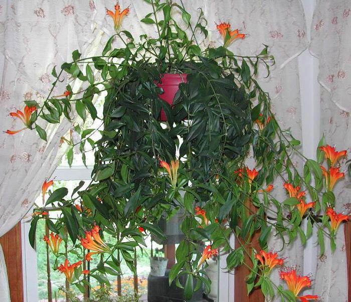 Комнатный цветок эсхинантус: фото