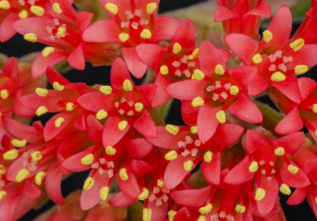 Яркие красные цветы серповидной толстянки