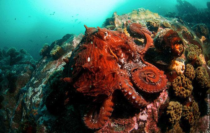 Встреча c гигантским осьминогом