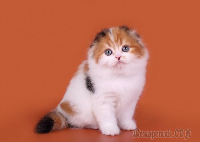 трехшерстная кошка в доме примета