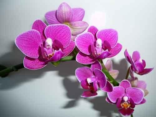 Орхидеи - комнатные цветы