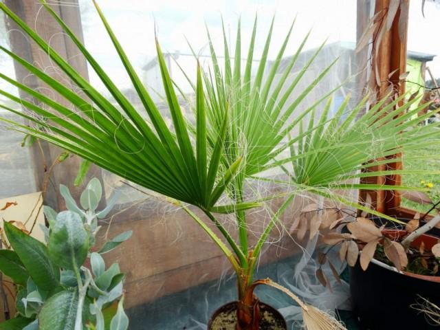 Вашингтония мощная (Washingtonia robusta)