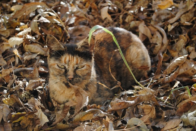 4579305-the-world_s-top-10-best-images-of-camouflage-cats-3-650-2700c0a2be-1478001584