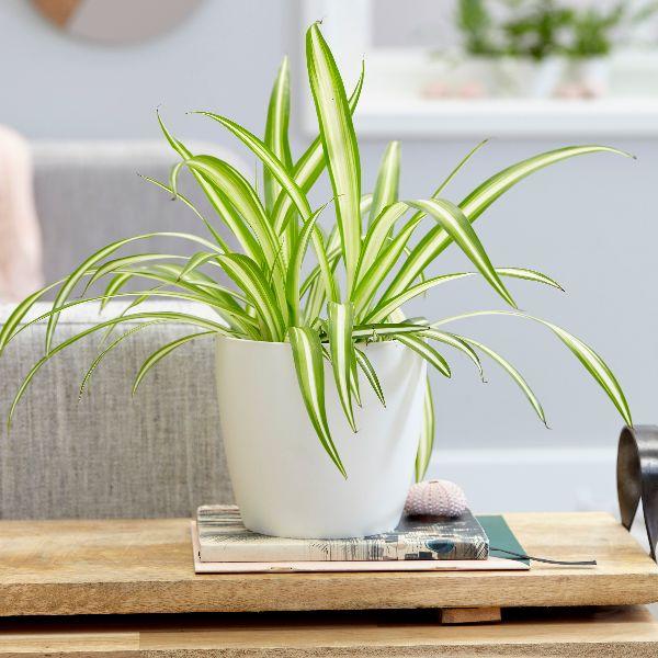 хлорофитум - лучший цветок для дома