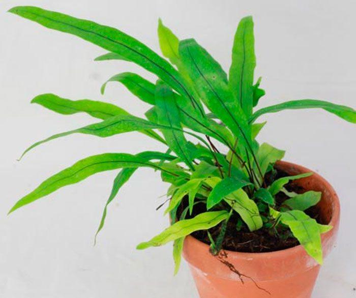 Микросорум разнолистный (Microsorum diversifolium)