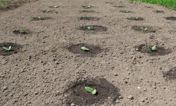 схема посадки семян кабачков