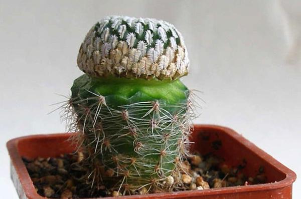Верхняя часть привитого кактуса - привой, нижняя - подвой