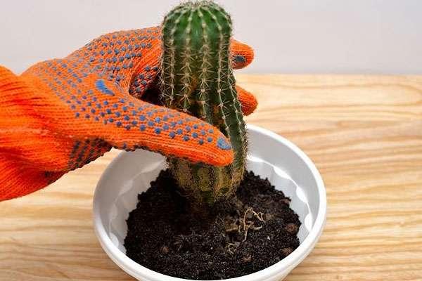 Пересадка домашних кактусов