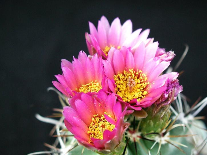 Кактус с розовыми цветами