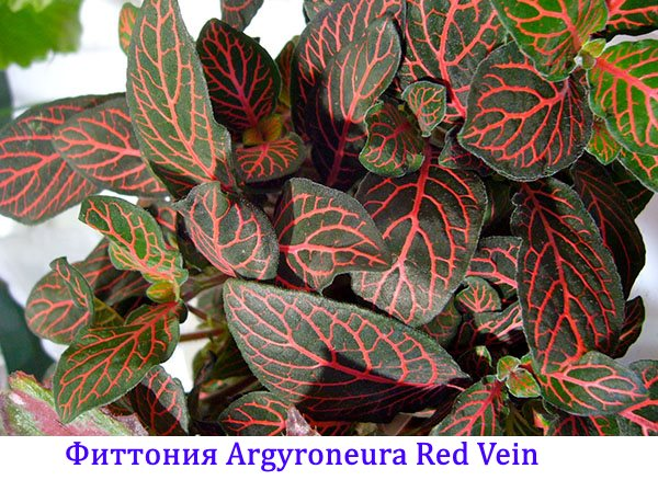 Фиттония argyroneura Red Vein
