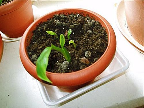 Растет и развивается молодой спатифиллум