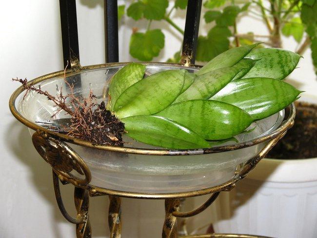 Сансевиерия родина растения