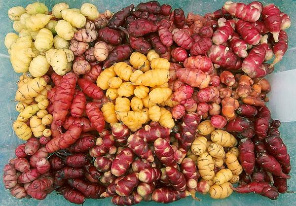 Собранные съедобные клубни кислицы