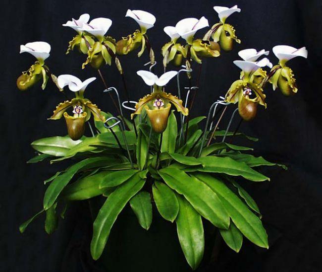Сейчас практически в любом цветочном магазине встречаются в большом количестве и разнообразии гибридные голландские растения