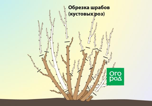Обрезка шрабов (кустовых роз)