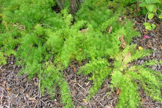 Аспарагус щетинковидный комнатные растения