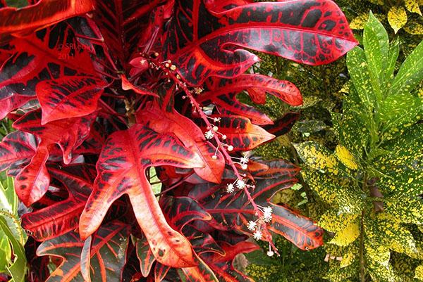 Цветение кротона с трехлопастными листьями