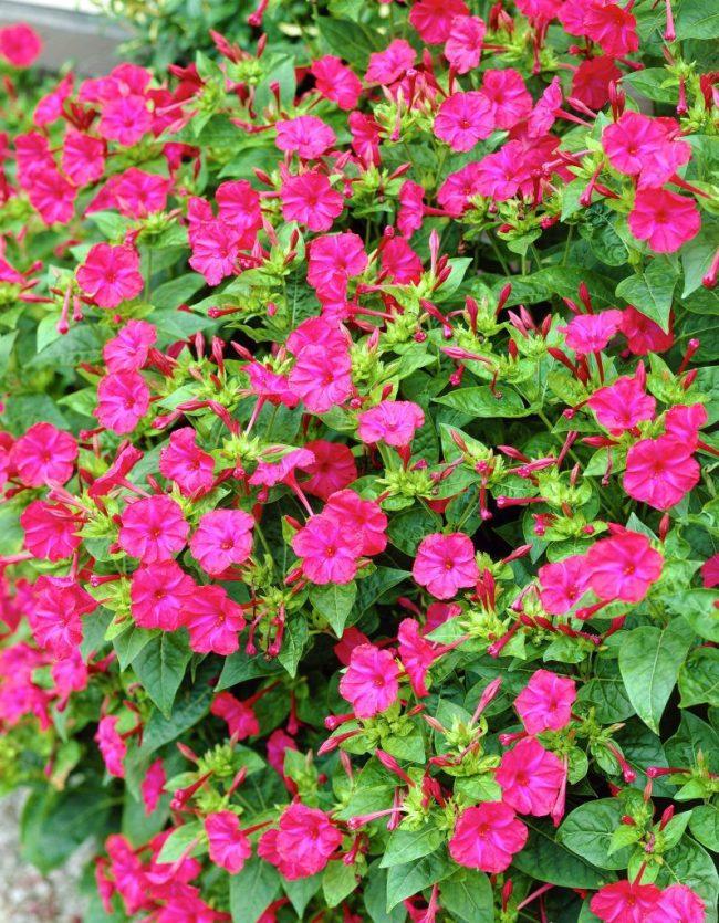 Цветы зорька посадка и уход