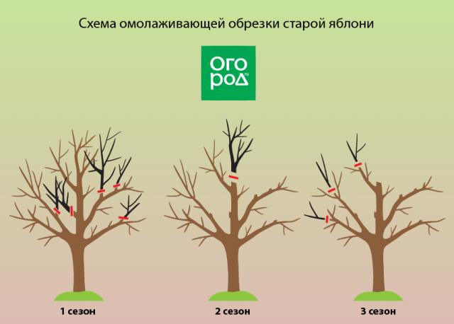 Схема обрезки старой яблони