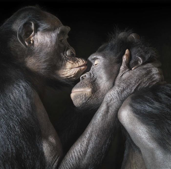 Пара бонобо. Этот вид шимпанзе обитает во впадине Конго и в Центральной Африке. Автор: Tim Flach.