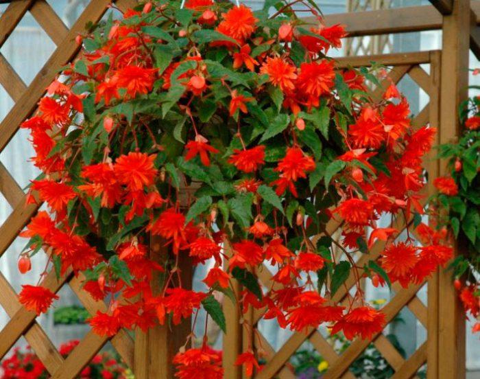 Бегония ампельная (Begonia x tuberhybrida pendula)