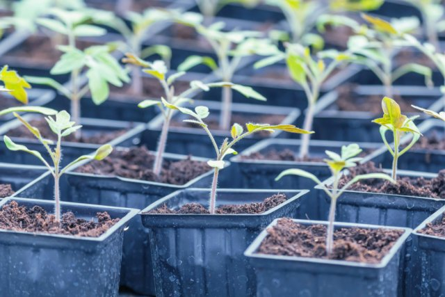 Какие растения надо пикировать, а какие – нет Сад и огород,рассада