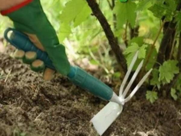Как ухаживать за смородиной, чтобы был хороший урожай