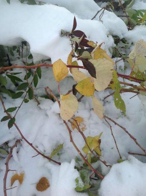 малина в снегу