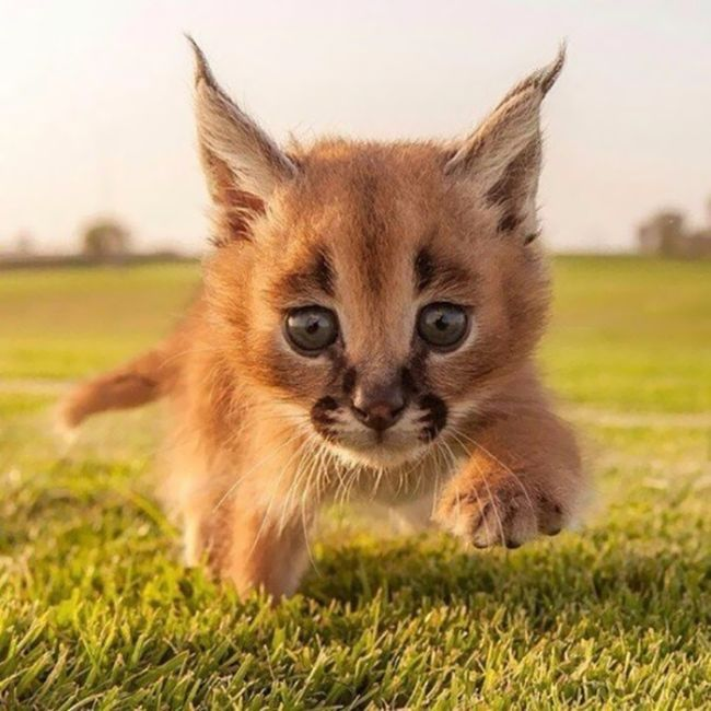 Детеныши каракала - самые очаровательные котята