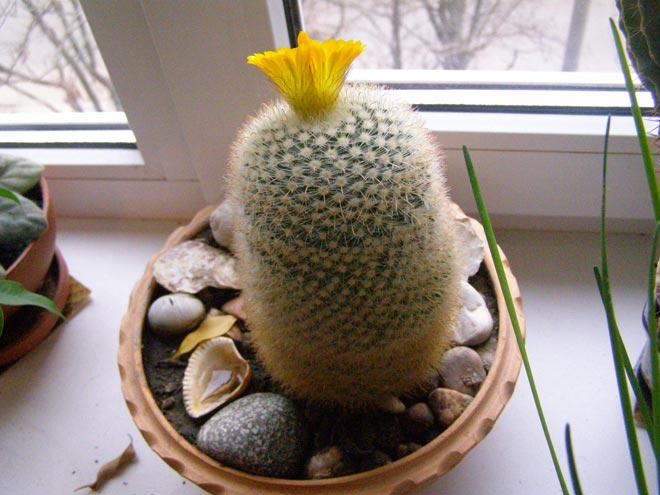кактус на окне
