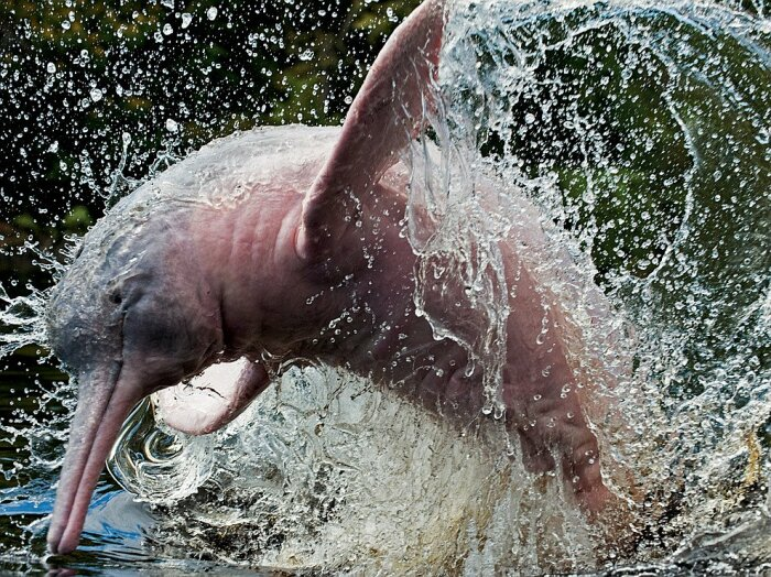 Ярким представителем морских животных, обитающих в Амазонке, выступает розовый дельфин / Фото: liveinternet.ru