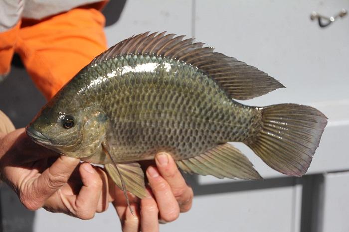 Тилапия - африканская пресноводная рыба. / Фото: eda-land.ru