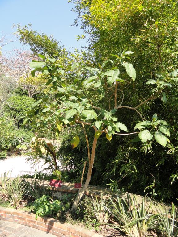 Тамарилло в открытом грунте