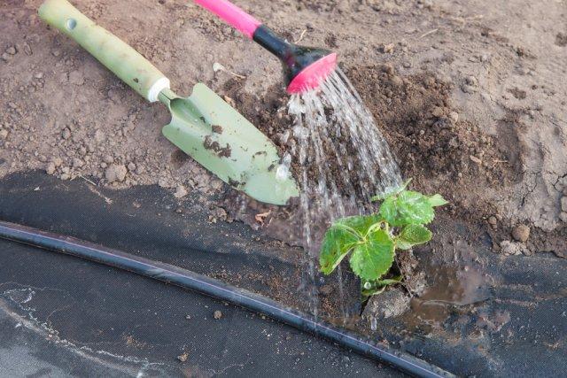 поливать клубнику
