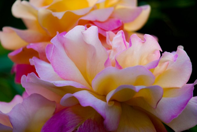 Расцветки у гибридных роз Остина - самые разные