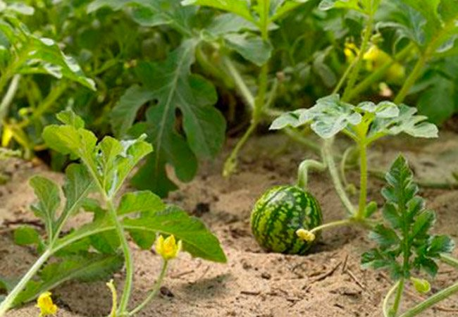 Чем подкормить арбузы во время цветения и плодоношения